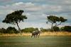lebala elephant bull