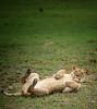 lagoon lioness roll