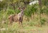 lagoon kudu impala