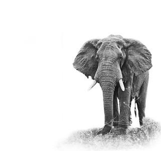 elephant ISO 2