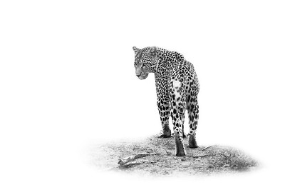 leopard ISO 2