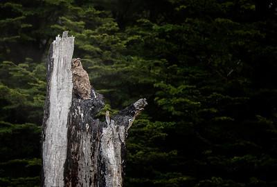 owl mama 1