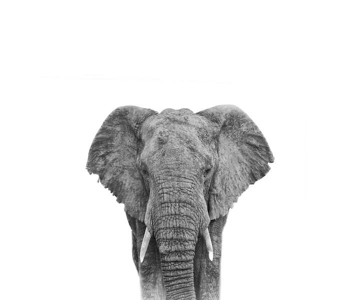 elephant ISO 1