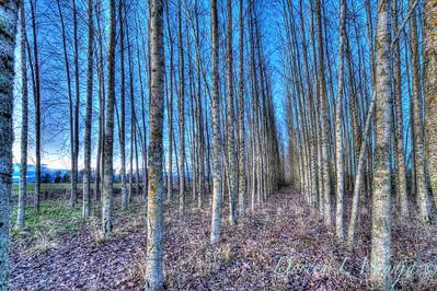 Brich trees_0008