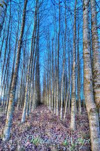 Birch trees_0003