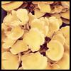 "<div class=""boxTop""><h3 id=""galleryTitle"" class=""title notopmargin"">Oyster Mushrooms, OSU Farmer's Market, OKC, 2011</h3>"