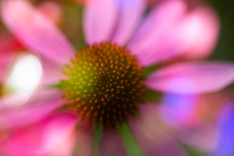 Echinacea Impressions 2