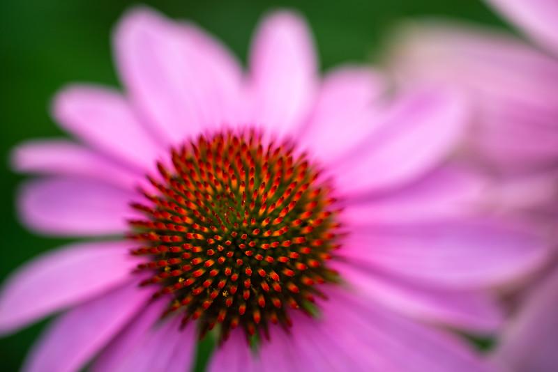 Echinacea Impressions 3