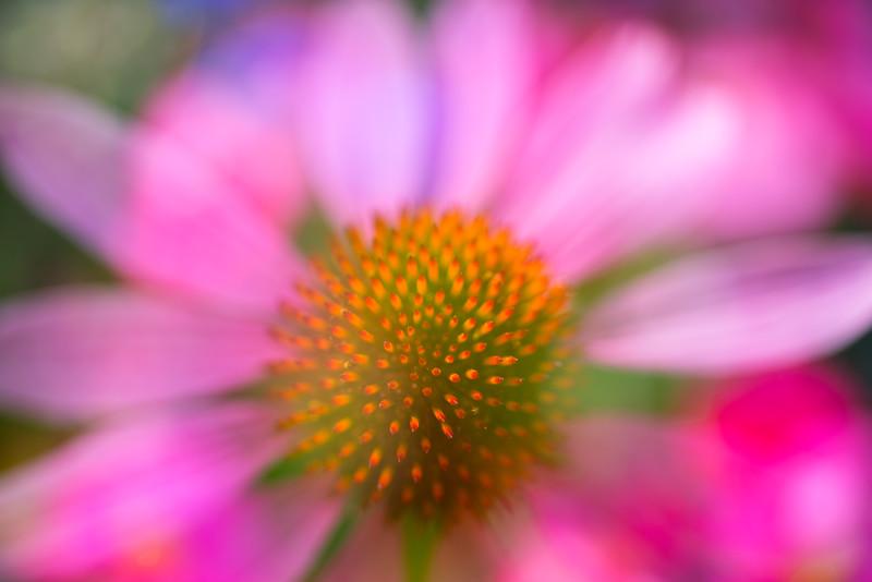 Echinacea Impressions 1