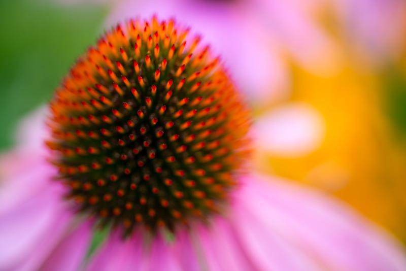 Echinacea Impressions 4