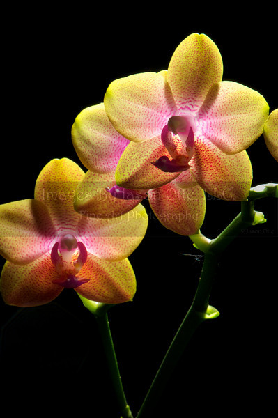 Orchid 2010-05-22 - 21-14-15