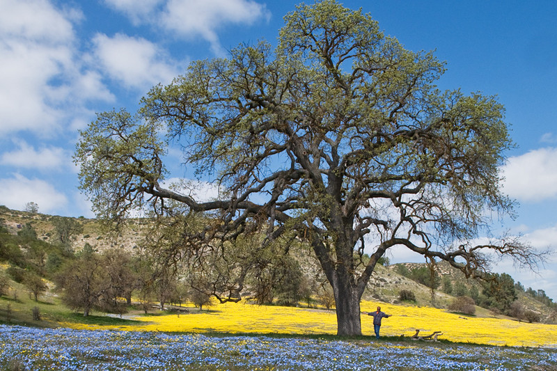Shell Creek Road, San Luis Obispo County, CA; Baby Blue eyes and Yellow Tidy Tips carpet the roadside with a classic California Oak and me for perspective!