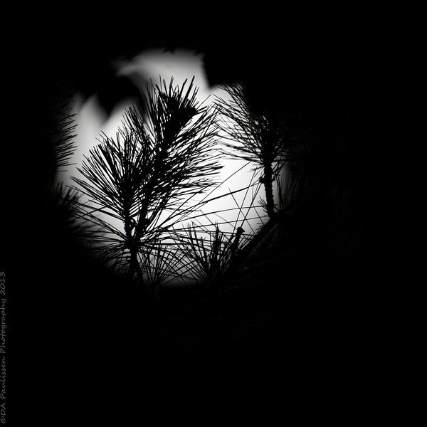 Luna through the Pines