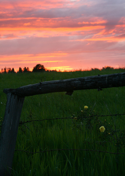 Yellow Roses and the Pink Sunset - Weippe, Idaho