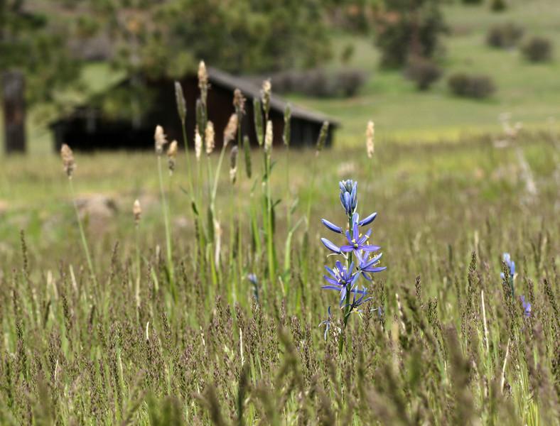 Camas Flower and the Barn - Wallowa, Oregon
