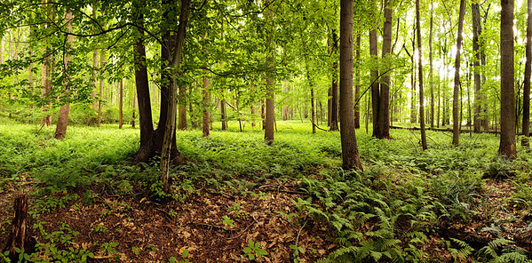 A panoramic view of trees surrounded by firns in a nature park in Maryland.