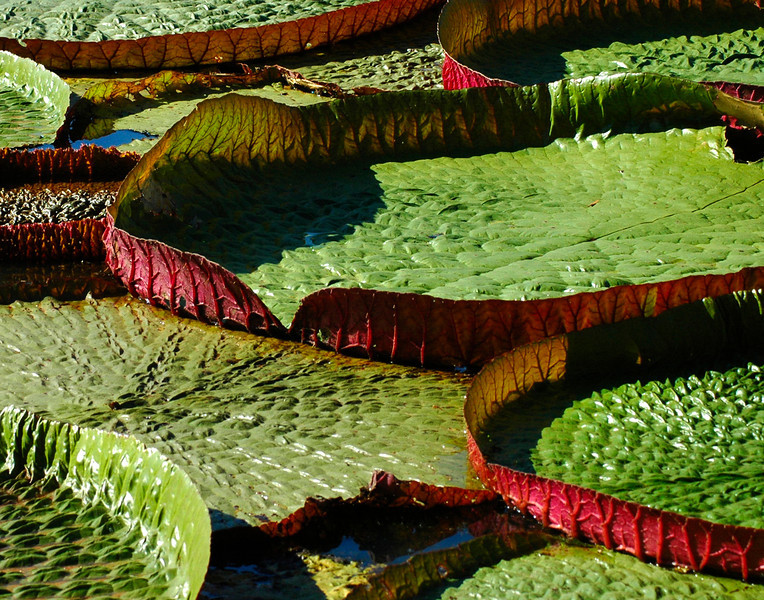 Lily Pads 3/100