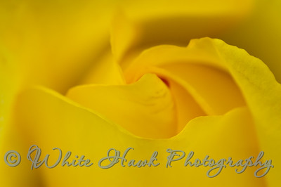 Close up abstract of Yellow Rose