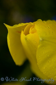Close up of yellow tulip
