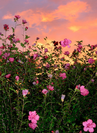 A flowering Rose of Sharon shrub at sunset.