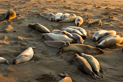 Elephant Seals near Point Piedra Blancas, north of San Luis Obispo.
