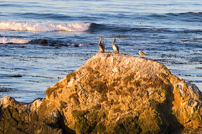 Pelicans resting on a rock Point Piedras Blancas, near San Simeon, CA