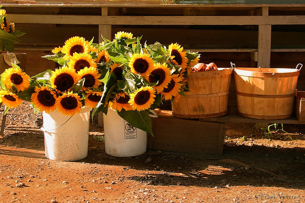 Sunflower Bouquets, West Newbury MA