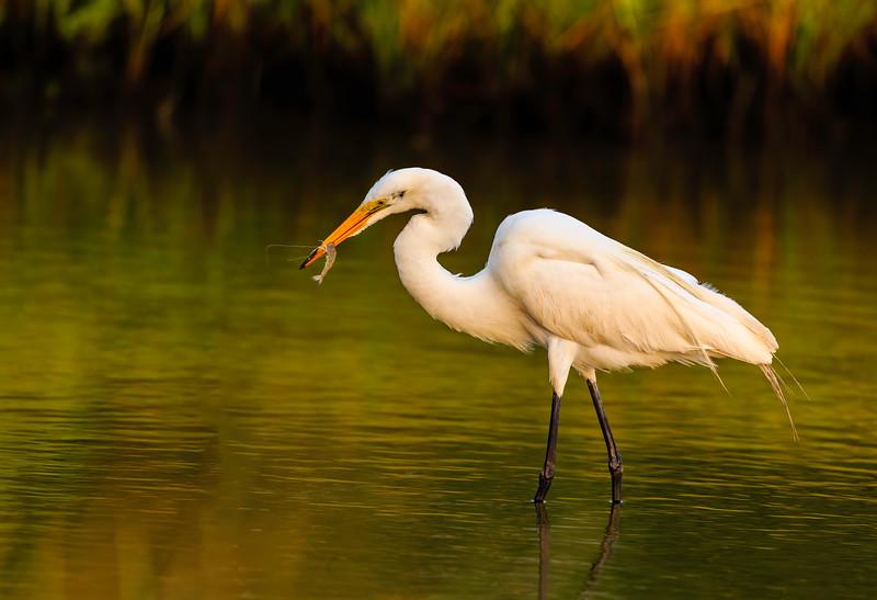Great Egret - Fresh Shrimp