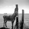 "<div class=""boxTop""><h3 id=""galleryTitle"" class=""title notopmargin"">Donkey, Sonoita, AZ, 2009</h3> B&W 120 (ISO 100).  Although I've made the switch to digital for client work, I started shooting film again after my mom found a Medium Format camera at an estate sale for like $5. When I shoot with the Rollei, I usually meter the exposure first with a digital camera or an iPhone light metering app (like Pocket Light Meter). This image was from one of the first rolls I shot with the Rollei, during a road trip to the wineries in Southern Arizona."