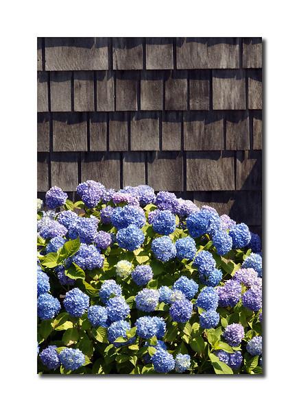 Hydrangeas, Nantucket