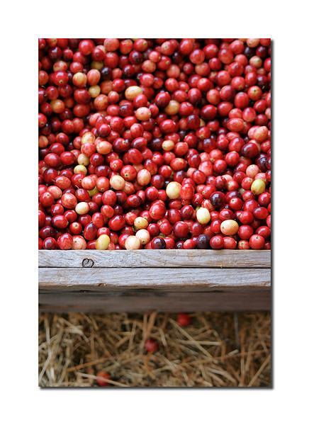 Cranberries, Nantucket