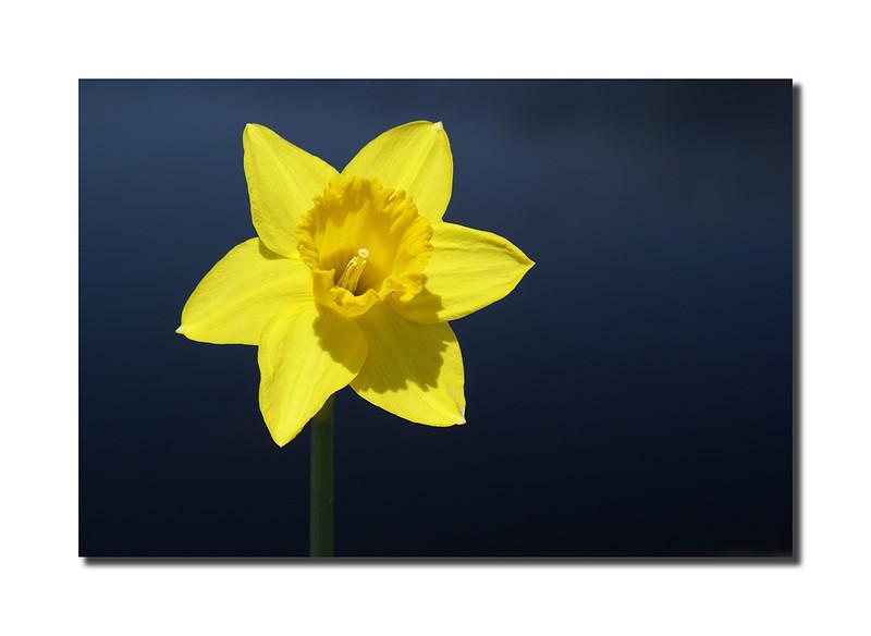 Daffodil, Nantucket
