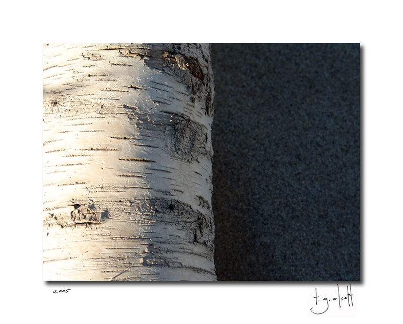 Beached Birch