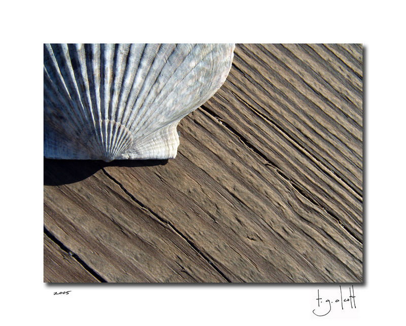 Scallop on Driftwood, November 2005
