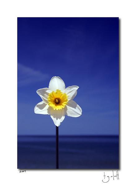 Seaside Daffodil