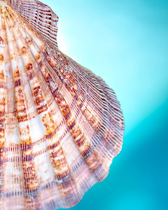 Sea Shell II