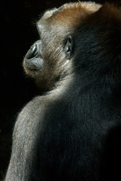 Female Gorilla. This one won first place in my camera club's Novice Digital Nature category.