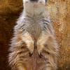 See? Aren't I so cute? You want to tickle my belly, don't you? Meerkat.