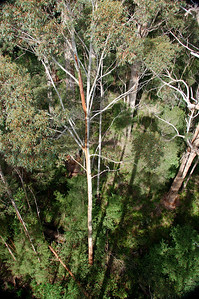 The tingle and red tingle trees are amazing. They can grown from 45 to 70 meters high, and can be as much as 16 meters in circumference at the base. The red tingle is only found in one small area of the southwest section of Western Australia. They and other tingles date from when the land was attached to the supercontinent of Gondwana. Valley of the Giants, near Walpole, Western Australia.