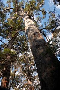 Tingle trees, Valley of the Giants near Walpole, Western Australia