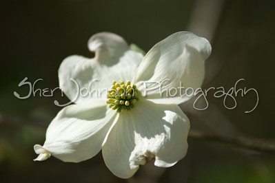 dogwood tree flower - spring in GA - 200mm @ f2.8