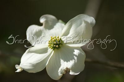 dogwood tree flower - spring in GA - 200mm @ f2.8