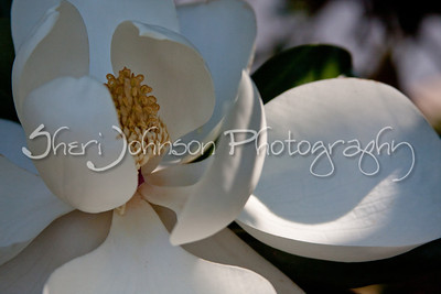 magnolia flower on a tree outside of Ashley's school