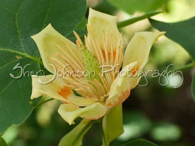 tulip tree flower, amazing!