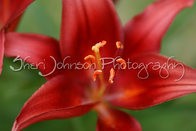 lily at  f 2.8