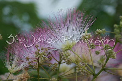 mimosa tree flowers - at least that is what I was told they are called...