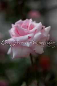another rose in my neighbors' rose garden