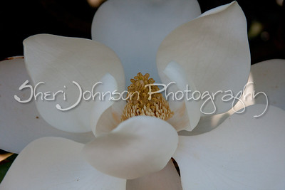Magnolia flower - May 25th in Georgia