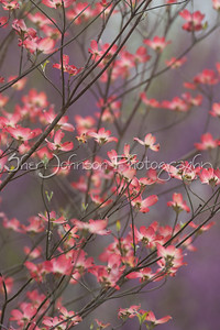 pink dogwood photographed in front of another flowering tree (purple)