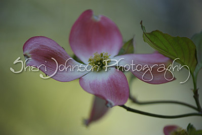 pink dogwood flowers in Georgia